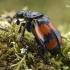 Juodbuožis duobkasys - Nicrophorus vespiloides  | Fotografijos autorius : Gintautas Steiblys | © Macrogamta.lt | Šis tinklapis priklauso bendruomenei kuri domisi makro fotografija ir fotografuoja gyvąjį makro pasaulį.