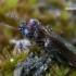 Pelkinis žvilgžygis - Nothiophilus palustris  | Fotografijos autorius : Gintautas Steiblys | © Macrogamta.lt | Šis tinklapis priklauso bendruomenei kuri domisi makro fotografija ir fotografuoja gyvąjį makro pasaulį.