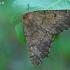 Dvidantis sprindžius - Odontopera bidentata | Fotografijos autorius : Gintautas Steiblys | © Macrogamta.lt | Šis tinklapis priklauso bendruomenei kuri domisi makro fotografija ir fotografuoja gyvąjį makro pasaulį.