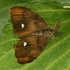 Sodinis šepetinukas - Orgyia antiqua, patinas  | Fotografijos autorius : Gintautas Steiblys | © Macrogamta.lt | Šis tinklapis priklauso bendruomenei kuri domisi makro fotografija ir fotografuoja gyvąjį makro pasaulį.