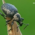 Tamsusis pjovėjas - Otiorhynchus tristis    Fotografijos autorius : Gintautas Steiblys   © Macrogamta.lt   Šis tinklapis priklauso bendruomenei kuri domisi makro fotografija ir fotografuoja gyvąjį makro pasaulį.