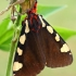 Pietinė meškutė - Pericallia matronula | Fotografijos autorius : Gintautas Steiblys | © Macrogamta.lt | Šis tinklapis priklauso bendruomenei kuri domisi makro fotografija ir fotografuoja gyvąjį makro pasaulį.