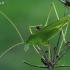 Lakštasparnis pjūklius - Phaneroptera falcata   Fotografijos autorius : Gintautas Steiblys   © Macrogamta.lt   Šis tinklapis priklauso bendruomenei kuri domisi makro fotografija ir fotografuoja gyvąjį makro pasaulį.