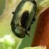 Paprastasis karklagraužis - Phratora vitellinae  | Fotografijos autorius : Gintautas Steiblys | © Macrogamta.lt | Šis tinklapis priklauso bendruomenei kuri domisi makro fotografija ir fotografuoja gyvąjį makro pasaulį.