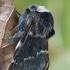 Rudeninis verpikas - Poecilocampa populi | Fotografijos autorius : Gintautas Steiblys | © Macrogamta.lt | Šis tinklapis priklauso bendruomenei kuri domisi makro fotografija ir fotografuoja gyvąjį makro pasaulį.