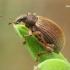 Smailiablauzdis lapinukas - Polydrusus mollis    Fotografijos autorius : Gintautas Steiblys   © Macrogamta.lt   Šis tinklapis priklauso bendruomenei kuri domisi makro fotografija ir fotografuoja gyvąjį makro pasaulį.