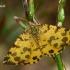 Leopardinis sprindžius - Pseudopanthera macularia  | Fotografijos autorius : Gintautas Steiblys | © Macrogamta.lt | Šis tinklapis priklauso bendruomenei kuri domisi makro fotografija ir fotografuoja gyvąjį makro pasaulį.