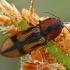 Kryžiuotasis rugiaspragšis - Selatosomus cruciatus  | Fotografijos autorius : Gintautas Steiblys | © Macrogamta.lt | Šis tinklapis priklauso bendruomenei kuri domisi makro fotografija ir fotografuoja gyvąjį makro pasaulį.