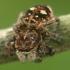 Žiedinis dėmėtšoklis - Sitticus floricola    Fotografijos autorius : Gintautas Steiblys   © Macrogamta.lt   Šis tinklapis priklauso bendruomenei kuri domisi makro fotografija ir fotografuoja gyvąjį makro pasaulį.