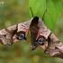 Akiuotasis sfinksas - Smerinthus ocellata | Fotografijos autorius : Gintautas Steiblys | © Macrogamta.lt | Šis tinklapis priklauso bendruomenei kuri domisi makro fotografija ir fotografuoja gyvąjį makro pasaulį.
