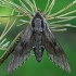 Pušinis sfinksas - Sphinx [=Hyloicus] pinastri   Fotografijos autorius : Gintautas Steiblys   © Macrogamta.lt   Šis tinklapis priklauso bendruomenei kuri domisi makro fotografija ir fotografuoja gyvąjį makro pasaulį.