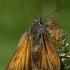 Raudonbuožis storgalvis - Thymelicus sylvestris  | Fotografijos autorius : Gintautas Steiblys | © Macrogamta.lt | Šis tinklapis priklauso bendruomenei kuri domisi makro fotografija ir fotografuoja gyvąjį makro pasaulį.