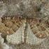 Šilkasparnis sprindžius - Triphosa dubitata | Fotografijos autorius : Gintautas Steiblys | © Macrogamta.lt | Šis tinklapis priklauso bendruomenei kuri domisi makro fotografija ir fotografuoja gyvąjį makro pasaulį.