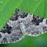 Paprastoji cidarija - Xanthorhoe fluctuata | Fotografijos autorius : Gintautas Steiblys | © Macrogamta.lt | Šis tinklapis priklauso bendruomenei kuri domisi makro fotografija ir fotografuoja gyvąjį makro pasaulį.