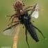 Krabvoris - Xysticus sp. doroja Storakojį uodą - Bibio sp.  | Fotografijos autorius : Gintautas Steiblys | © Macrogamta.lt | Šis tinklapis priklauso bendruomenei kuri domisi makro fotografija ir fotografuoja gyvąjį makro pasaulį.