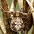 Pleištadėmis krabvoris - Xysticus audax  | Fotografijos autorius : Gintautas Steiblys | © Macrogamta.lt | Šis tinklapis priklauso bendruomenei kuri domisi makro fotografija ir fotografuoja gyvąjį makro pasaulį.