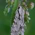 Strėlinukas - Acronicta cuspis / Acronicta psi  | Fotografijos autorius : Gintautas Steiblys | © Macrogamta.lt | Šis tinklapis priklauso bendruomenei kuri domisi makro fotografija ir fotografuoja gyvąjį makro pasaulį.