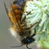 Rudoji osmija - Osmia rufa, patinas | Fotografijos autorius : Gintautas Steiblys | © Macrogamta.lt | Šis tinklapis priklauso bendruomenei kuri domisi makro fotografija ir fotografuoja gyvąjį makro pasaulį.