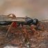Vytis/Ichneumonas - Pimplinae sp. ? | Fotografijos autorius : Gintautas Steiblys | © Macrogamta.lt | Šis tinklapis priklauso bendruomenei kuri domisi makro fotografija ir fotografuoja gyvąjį makro pasaulį.