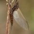 Lašalas - Heptagenia sp.  | Fotografijos autorius : Gintautas Steiblys | © Macrogamta.lt | Šis tinklapis priklauso bendruomenei kuri domisi makro fotografija ir fotografuoja gyvąjį makro pasaulį.