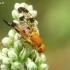 Margasparnė - Xyphosia miliaria  | Fotografijos autorius : Gintautas Steiblys | © Macrogamta.lt | Šis tinklapis priklauso bendruomenei kuri domisi makro fotografija ir fotografuoja gyvąjį makro pasaulį.