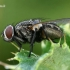 Tikramusė - Musca autumnalis  | Fotografijos autorius : Gintautas Steiblys | © Macrogamta.lt | Šis tinklapis priklauso bendruomenei kuri domisi makro fotografija ir fotografuoja gyvąjį makro pasaulį.