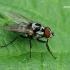 Žiedenė - Anthomyia procellaris  | Fotografijos autorius : Gintautas Steiblys | © Macrogamta.lt | Šis tinklapis priklauso bendruomenei kuri domisi makro fotografija ir fotografuoja gyvąjį makro pasaulį.