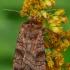 Tamsiajuostis dirvinukas - Xestia sexstrigata | Fotografijos autorius : Gintautas Steiblys | © Macrogamta.lt | Šis tinklapis priklauso bendruomenei kuri domisi makro fotografija ir fotografuoja gyvąjį makro pasaulį.
