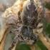 Ietinis pušinukas - Dendryphantes hastatus  | Fotografijos autorius : Gintautas Steiblys | © Macrogamta.lt | Šis tinklapis priklauso bendruomenei kuri domisi makro fotografija ir fotografuoja gyvąjį makro pasaulį.