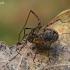 Šienpjovys - Oligolophus cf. hanseni | Fotografijos autorius : Gintautas Steiblys | © Macrogamta.lt | Šis tinklapis priklauso bendruomenei kuri domisi makro fotografija ir fotografuoja gyvąjį makro pasaulį.