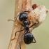 Juodoji medžių skruzdėlė - Lasius fuliginosus | Fotografijos autorius : Gintautas Steiblys | © Macrogamta.lt | Šis tinklapis priklauso bendruomenei kuri domisi makro fotografija ir fotografuoja gyvąjį makro pasaulį.