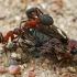 Rudosios miško skruzdėlės - Formica rufa | Fotografijos autorius : Gintautas Steiblys | © Macrogamta.lt | Šis tinklapis priklauso bendruomenei kuri domisi makro fotografija ir fotografuoja gyvąjį makro pasaulį.