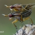 Sraigžudės - Limnia unguicornis  | Fotografijos autorius : Gintautas Steiblys | © Macrogamta.lt | Šis tinklapis priklauso bendruomenei kuri domisi makro fotografija ir fotografuoja gyvąjį makro pasaulį.