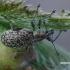 Lapinukas - Polydrusus pilosus  | Fotografijos autorius : Gintautas Steiblys | © Macrogamta.lt | Šis tinklapis priklauso bendruomenei kuri domisi makro fotografija ir fotografuoja gyvąjį makro pasaulį.