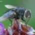 Dygliamusė - Huebneria affinis  | Fotografijos autorius : Gintautas Steiblys | © Macrogamta.lt | Šis tinklapis priklauso bendruomenei kuri domisi makro fotografija ir fotografuoja gyvąjį makro pasaulį.