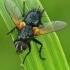 Dygliamusė - Zophomyia temula  | Fotografijos autorius : Gintautas Steiblys | © Macrogamta.lt | Šis tinklapis priklauso bendruomenei kuri domisi makro fotografija ir fotografuoja gyvąjį makro pasaulį.