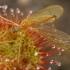 Ilgakojis uodas - Tipulidae sp. saulašarės auka | Fotografijos autorius : Gintautas Steiblys | © Macrogamta.lt | Šis tinklapis priklauso bendruomenei kuri domisi makro fotografija ir fotografuoja gyvąjį makro pasaulį.