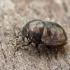 Skarabėjinė juodblakė - Thyreocoris scarabaeoides | Fotografijos autorius : Gintautas Steiblys | © Macrogamta.lt | Šis tinklapis priklauso bendruomenei kuri domisi makro fotografija ir fotografuoja gyvąjį makro pasaulį.