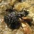 Elaphrus cupreus - Mėlynpadis akiuotžygis   Fotografijos autorius : Algirdas Vilkas   © Macrogamta.lt   Šis tinklapis priklauso bendruomenei kuri domisi makro fotografija ir fotografuoja gyvąjį makro pasaulį.
