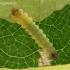 Ąžuolinė tišerija - Tischeria ekebladella   Fotografijos autorius : Algirdas Vilkas   © Macrogamta.lt   Šis tinklapis priklauso bendruomenei kuri domisi makro fotografija ir fotografuoja gyvąjį makro pasaulį.