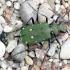 Žaliasis šoklys - Cicindela campestris | Fotografijos autorius : Algirdas Vilkas | © Macrogamta.lt | Šis tinklapis priklauso bendruomenei kuri domisi makro fotografija ir fotografuoja gyvąjį makro pasaulį.