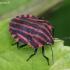 Juostelinė skydblakė - Graphosoma italicum | Fotografijos autorius : Algirdas Vilkas | © Macrogamta.lt | Šis tinklapis priklauso bendruomenei kuri domisi makro fotografija ir fotografuoja gyvąjį makro pasaulį.