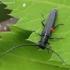 Barštinis stiebalindis - Phytoecia cylindrica | Fotografijos autorius : Algirdas Vilkas | © Macrogamta.lt | Šis tinklapis priklauso bendruomenei kuri domisi makro fotografija ir fotografuoja gyvąjį makro pasaulį.