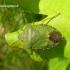 Palomena prasina - Medinė skydblakė | Fotografijos autorius : Algirdas Vilkas | © Macrogamta.lt | Šis tinklapis priklauso bendruomenei kuri domisi makro fotografija ir fotografuoja gyvąjį makro pasaulį.