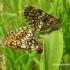Melitaea athalia - Paprastoji šaškytė | Fotografijos autorius : Algirdas Vilkas | © Macrogamta.lt | Šis tinklapis priklauso bendruomenei kuri domisi makro fotografija ir fotografuoja gyvąjį makro pasaulį.