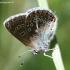 Baltajuostis melsvys - Eumedonia eumedon   Fotografijos autorius : Algirdas Vilkas   © Macrogamta.lt   Šis tinklapis priklauso bendruomenei kuri domisi makro fotografija ir fotografuoja gyvąjį makro pasaulį.