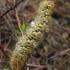 Lasiocampa trifolii - Dobilinis verpikas | Fotografijos autorius : Algirdas Vilkas | © Macrogamta.lt | Šis tinklapis priklauso bendruomenei kuri domisi makro fotografija ir fotografuoja gyvąjį makro pasaulį.