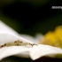Misumena vatia - Geltonasis žiedvoris   Fotografijos autorius : Alma Totorytė   © Macrogamta.lt   Šis tinklapis priklauso bendruomenei kuri domisi makro fotografija ir fotografuoja gyvąjį makro pasaulį.