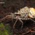 Pardosa sp. - Šuolininkas | Fotografijos autorius : Lukas Jonaitis | © Macrogamta.lt | Šis tinklapis priklauso bendruomenei kuri domisi makro fotografija ir fotografuoja gyvąjį makro pasaulį.