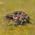 Cicindela hybrida - Baltalūpis šoklys   Fotografijos autorius : Lukas Jonaitis   © Macrogamta.lt   Šis tinklapis priklauso bendruomenei kuri domisi makro fotografija ir fotografuoja gyvąjį makro pasaulį.
